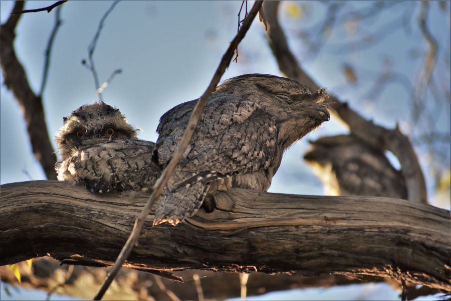 Bridget Finch, Portrait of a Tawny Frogmouth Family